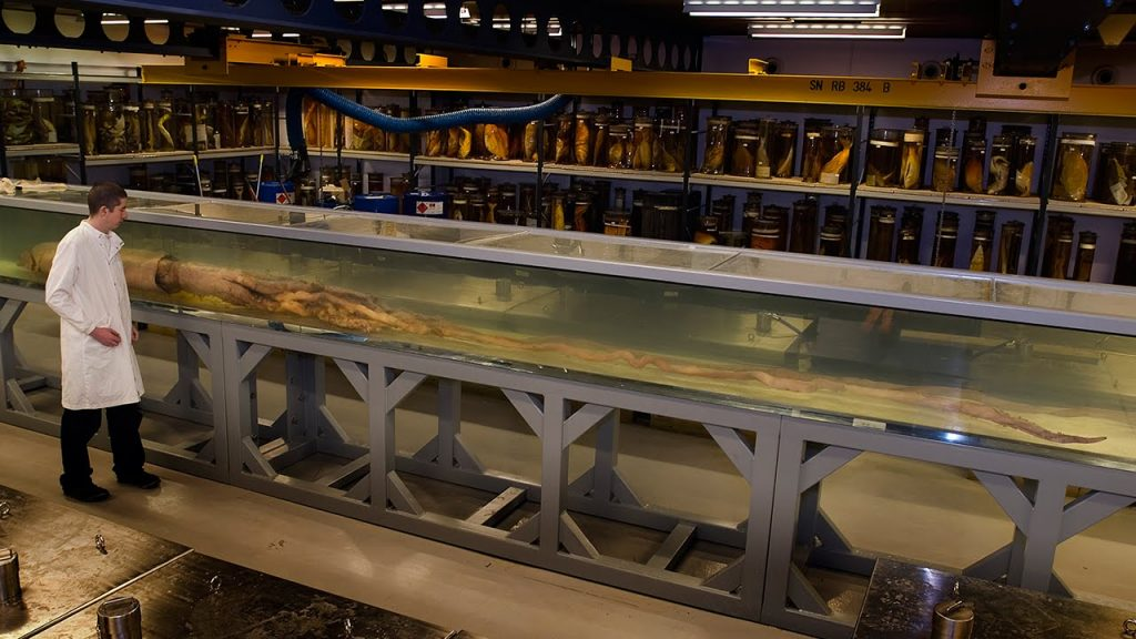 A giant squid on display